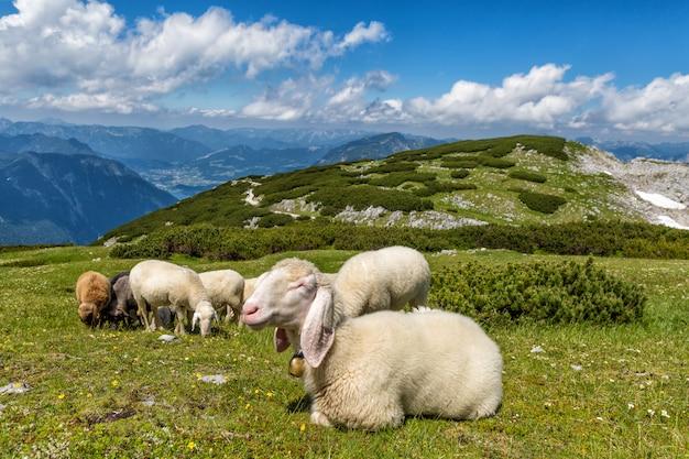 ドロミティ山脈の緑の牧草地で羊の群れ。日没の光、彼の羊と羊飼い。