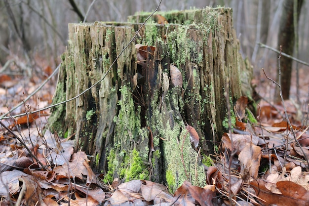 Зеленый мох на пне в лесу