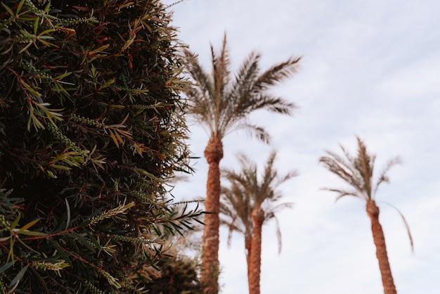 空を背景のヤシの木