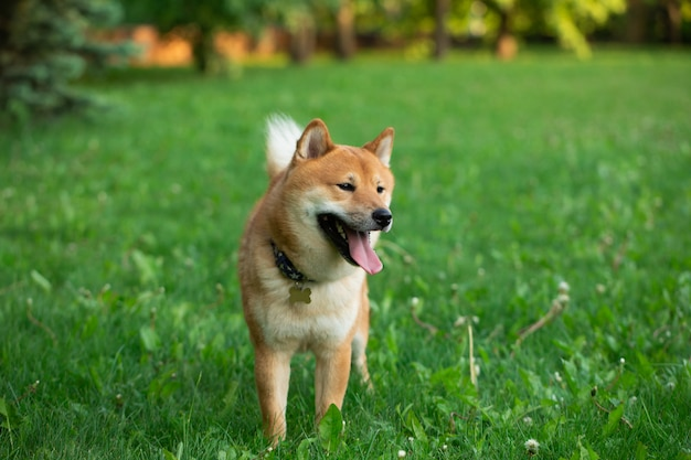 草の上を走っている日本の犬赤柴犬