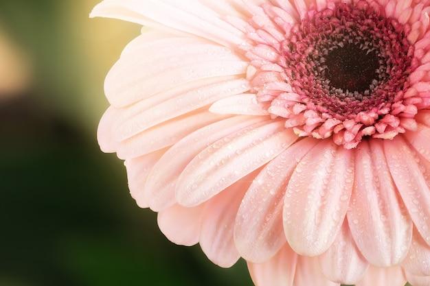 Макрос красивой росы падает на розовые герберы.