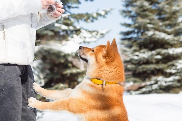 Молодая женщина гуляет с собакой шиба ину