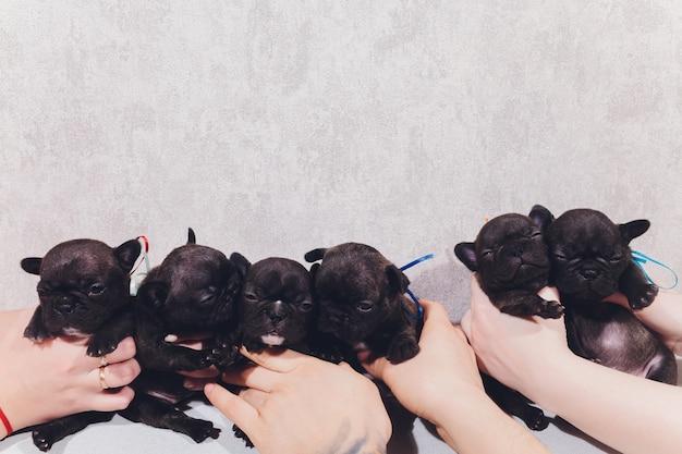 Щенки французского бульдога младенца представляя сидеть щенка и смотреть в сторону.