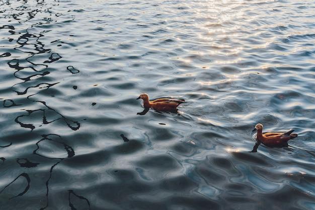Утки и селезень плавают по воде в пруду.