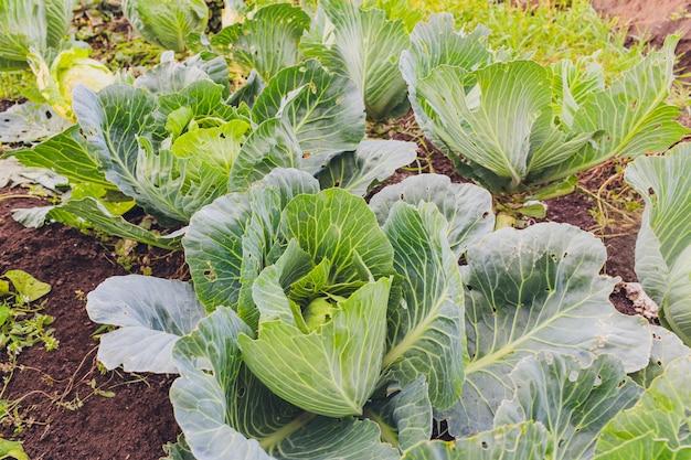 Плантация капусты в саду, в солнечный день.