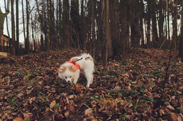 Маленькая собака, маленькая собака с ошейником и поводком