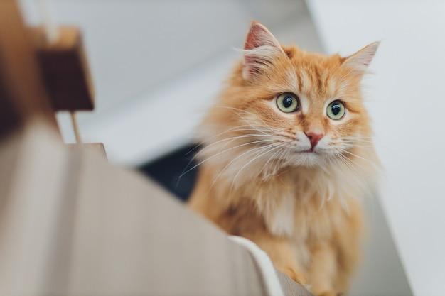 フォーカスの美しい赤い猫。キャッツアイ。