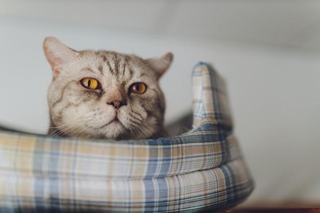 Сладкий золотой кот лежал на диване и смотрит в сторону.