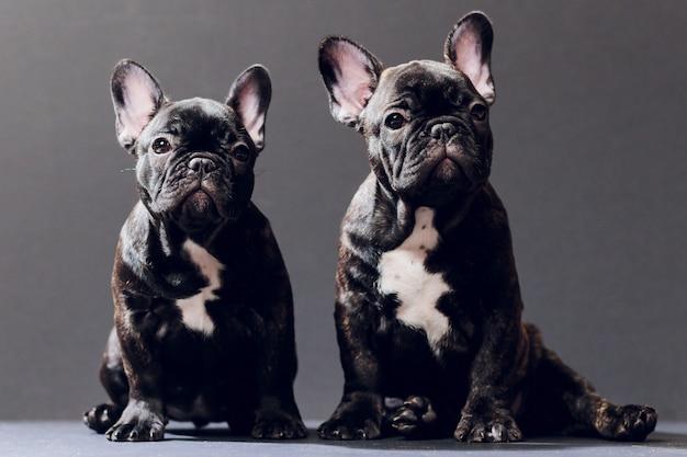 面白い笑顔のフレンチブルドッグ犬のクローズアップの肖像画と不思議なことに、正面図、分離