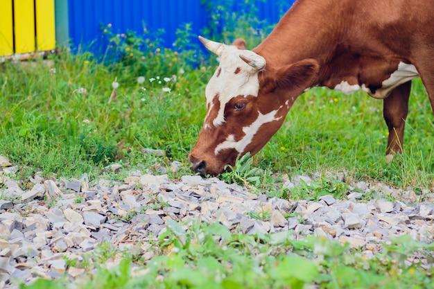 夏の緑のフィールドの選択と集中で牛