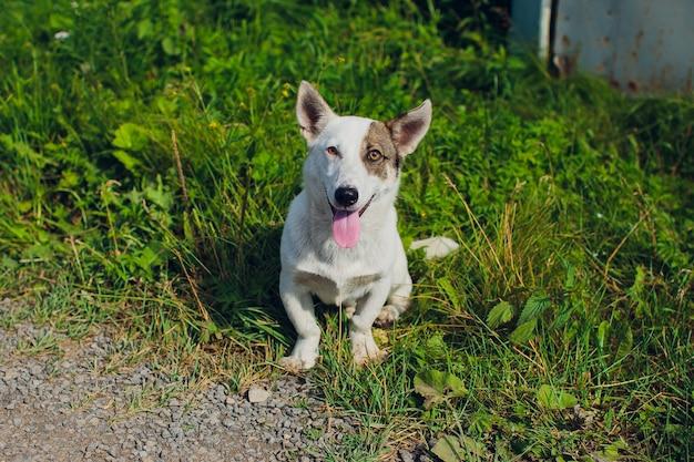カーディガンウェルシュコーギーは犬の動物をよそ見
