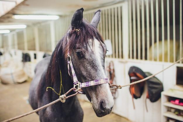 馬小屋から他の馬を見てアングロアラビアの競走馬
