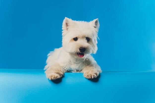 Портрет мальтийской собачки портрет крупным планом маленькая белая собака.