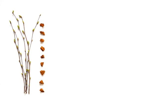 チャガキノコ。白い背景の上の芽の分離と白樺菌チャガと白樺の小枝の部分の組成物。