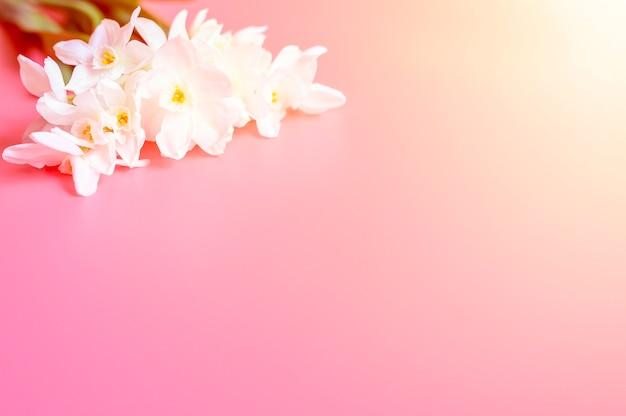 Букет цветов нарциссов белого цвета в полном расцвете на розовом