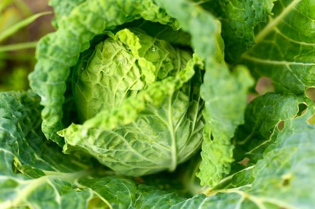 Голова свежей честной белокочанной капусты растет в саду.