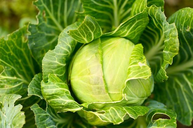 Голова спелой свежей честной белокочанной капусты растет в саду