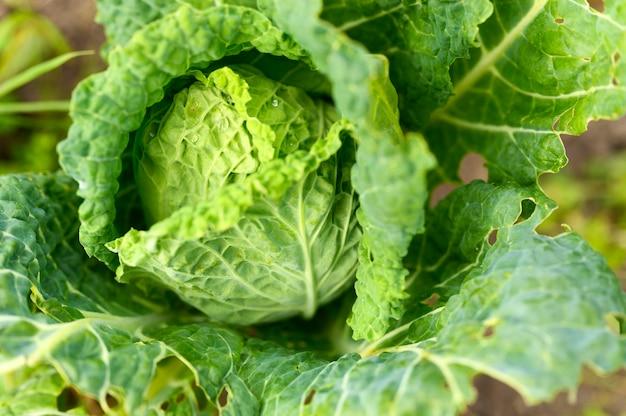Голова свежей честной белокочанной капусты растет в саду. капли воды на листьях