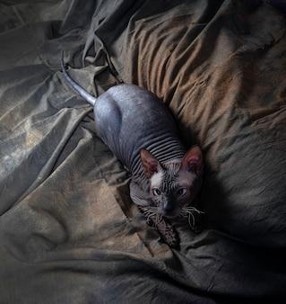 光のスフィンクス猫の肖像画