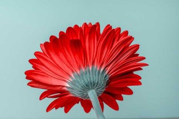 赤いガーバーの花の底面図