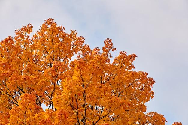 オレンジ色のカエデの上部が空を背景