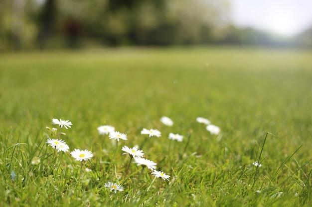 緑の草の背景に小さな白いヒナギク。日光の光線で緑の牧草地に白い鎮静。テキストのためのスペース