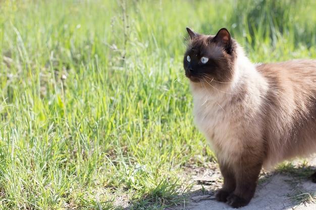 Сиамский или тайский кот на зеленой траве