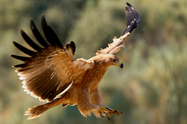 Молодой испанский имперский орел. акила адальберти