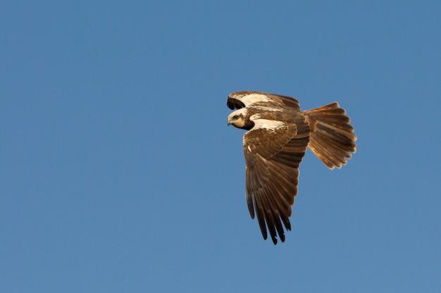 午後の最後の光で飛んでいる西洋のマーシュハリアーの大人の女性