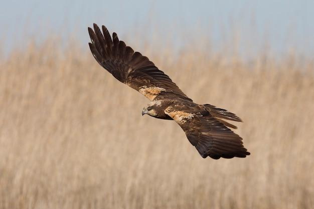 午後の最後の光で飛んでいる西部のマーシュハリアーの若者
