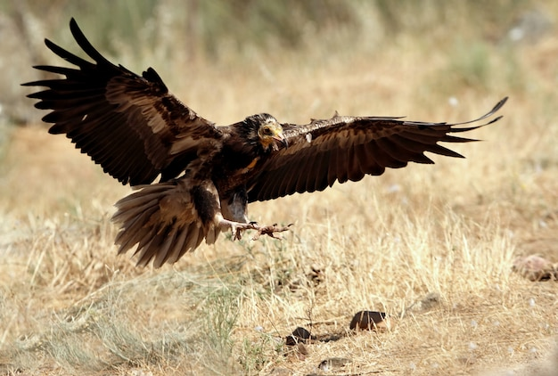 エジプトのハゲタカの若い飛行