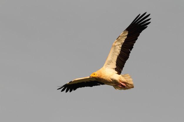 エジプトのハゲタカの大人の飛行