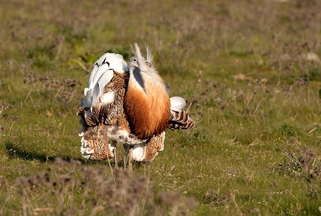 繁殖期のオオタカの成体雄