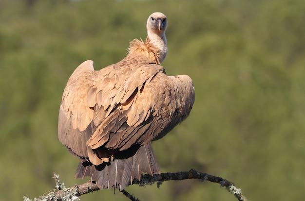 グリフォンのハゲタカ鳥