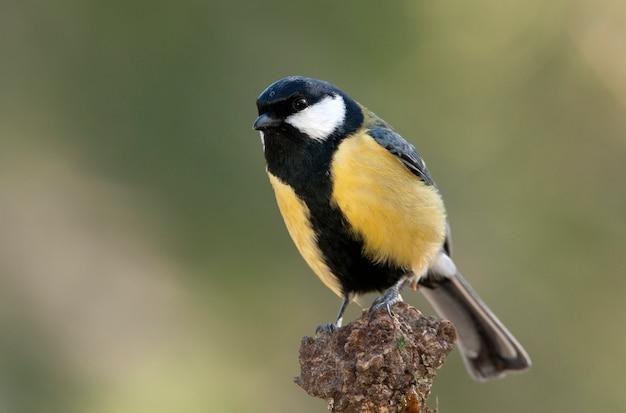 Большая синица на ветке с последним светом дня, птицами, воробьиным, парус мажор