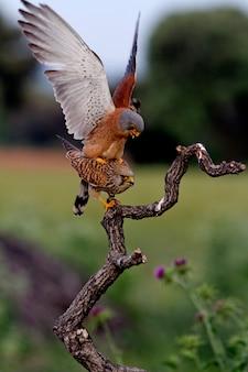 チョウゲンボウの交尾、ハヤブサ、鳥、猛禽類、タカ、ファルコナウナンニのオスとメス