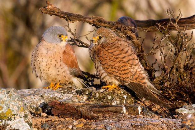 交尾シーズン、ハヤブサ、鳥、猛禽類、タカ、ファルコナウナンニのレッサーケストレルのオスとメス