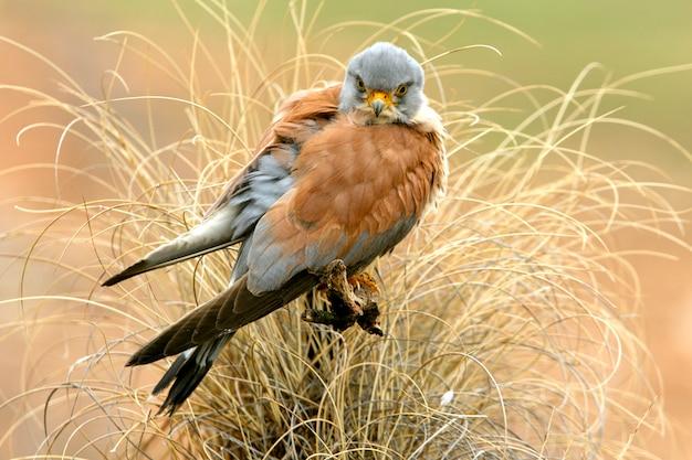 チョウゲンボウ、ハヤブサ、鳥、猛禽類、タカ、ファルコナウナンニの雄