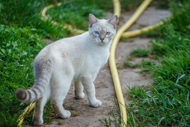 Белый кот гуляя вдоль пути в селе.