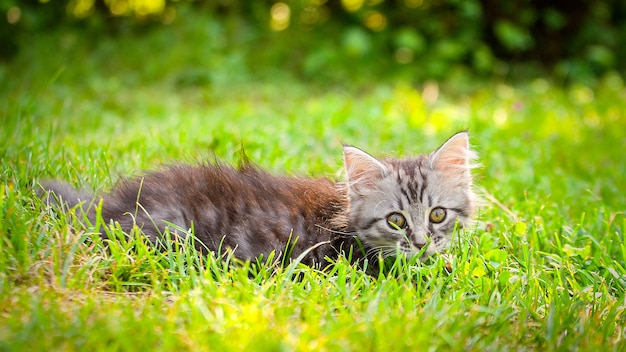 Молодой котенок кота на зеленом луге. маленький полосатый котенок лежит на зеленой траве