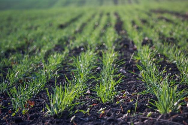 土壌で成長している若い緑の小麦。農業プロセス。秋に成長している若い小麦苗のフィールド。霧の秋の日にフィールドにライ麦農業を発芽します。ライ麦の芽。