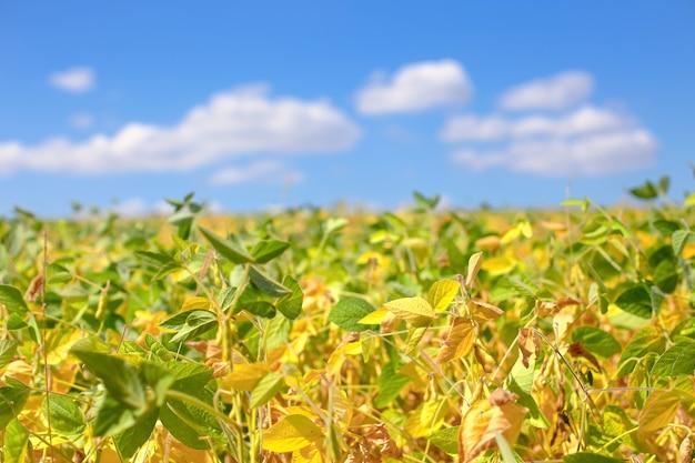 熟した大豆の畑。グリシンマックス、大豆、大豆もやし成長中の大豆。