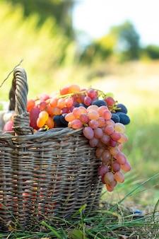 Букет из красного винограда, висит от старой плетеной корзине. сбор ягод против зеленой травы на закате.