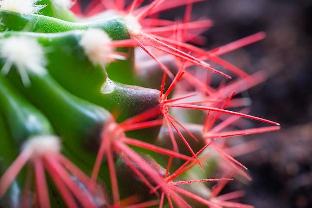 Кораллово-красные иголки кактуса. новые белые иголки на кактусе.
