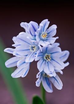 スキュラシベリアのクローズアップ。小さな青い花。白青のスノードロップ。