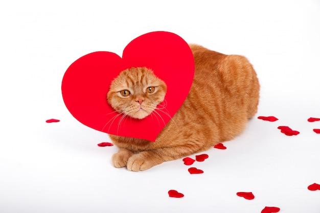 イギリス猫、ポートレート猫、バレンタインデー、ハート