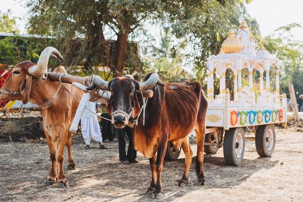 サンクランティフェスティバルのインド装飾牛