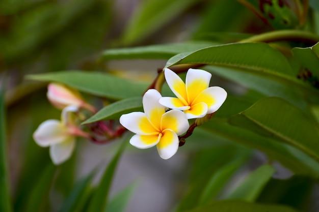 プルメリアの花が咲く庭で、美しい、自然な背景