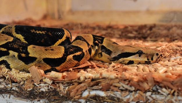 ボアは大きなヘビです