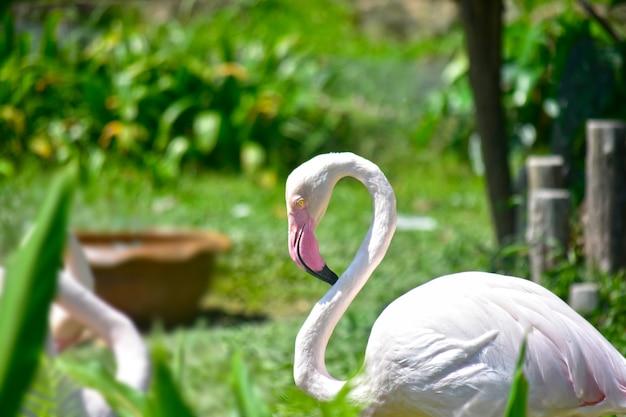 フラミンゴの鳥それは長い首と足を持つ非常に美しい鳥です